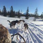 Alaska Husky på hundekjøring